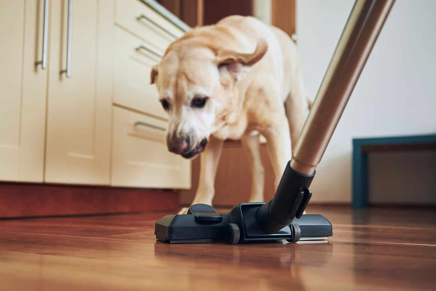 Cleaning the house after a dog